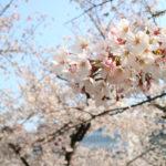 私にごほうび!!「伊庵」造幣局の桜にはイタリアンの名店が似合う♡
