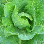 トコちゃんの食ケア Vol.20「キャベツは天然の胃腸薬」